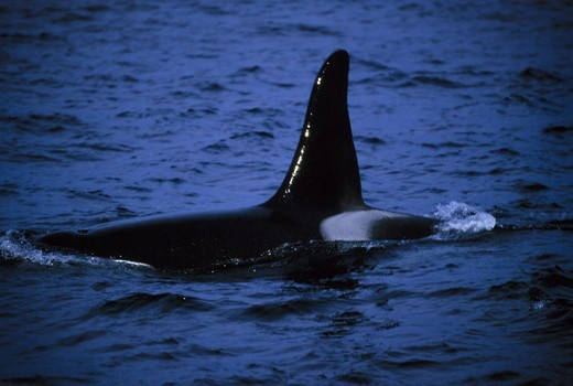 Stock Photo: 4401R-3762 Orca, Killer Whale male showing his dorsal fin