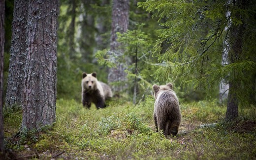 A brown bear in the forest, Finland. : Stock Photo