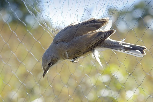 Stock Photo: 4401R-4100 A whitethroat in a bird net, Sweden.
