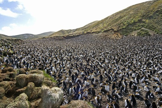 Stock Photo: 4401R-4229 Royal penguins, Australia.