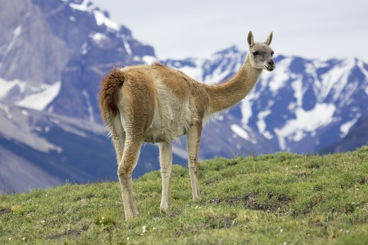 Guanacos, Torres del Paine National Park, Patagonia, Chile. : Stock Photo