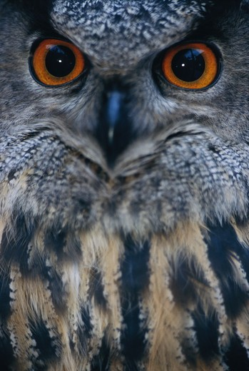 Stock Photo: 4401R-5067 An eagle owl at a zoo, Kolmarden, Sweden.