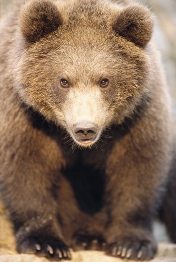 Stock Photo: 4401R-5105 A brown bear at a zoo, Kolmarden, Sweden.
