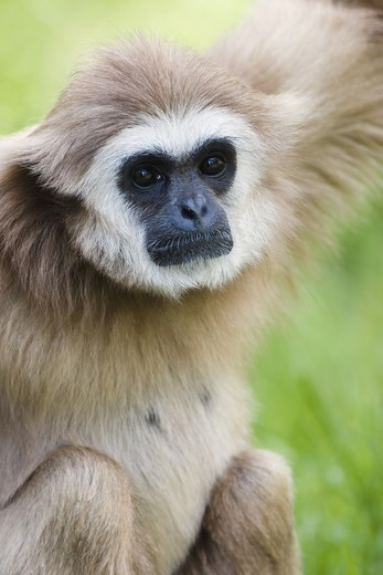 Stock Photo: 4401R-5194 A lar gibbon at a zoo, Sweden.