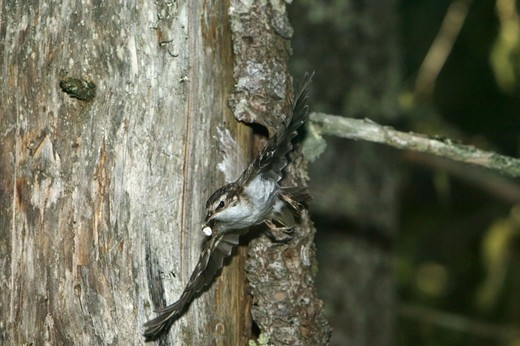 Stock Photo: 4401R-5321 Tree creeper, Sweden.