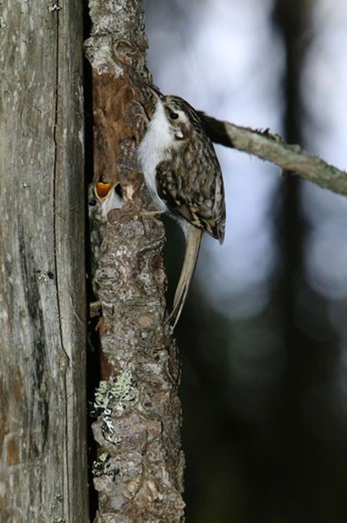 Stock Photo: 4401R-5323 Tree creeper, Sweden.