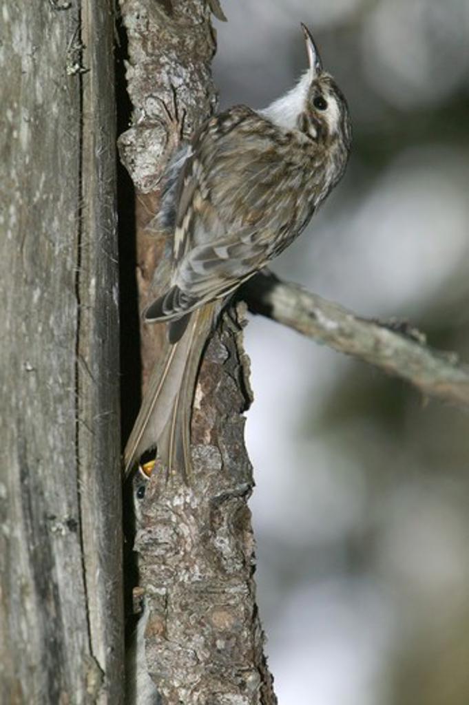 Tree creeper, Sweden. : Stock Photo