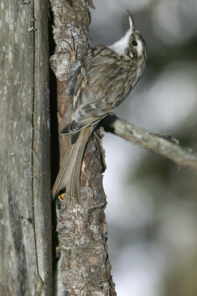 Stock Photo: 4401R-5324 Tree creeper, Sweden.