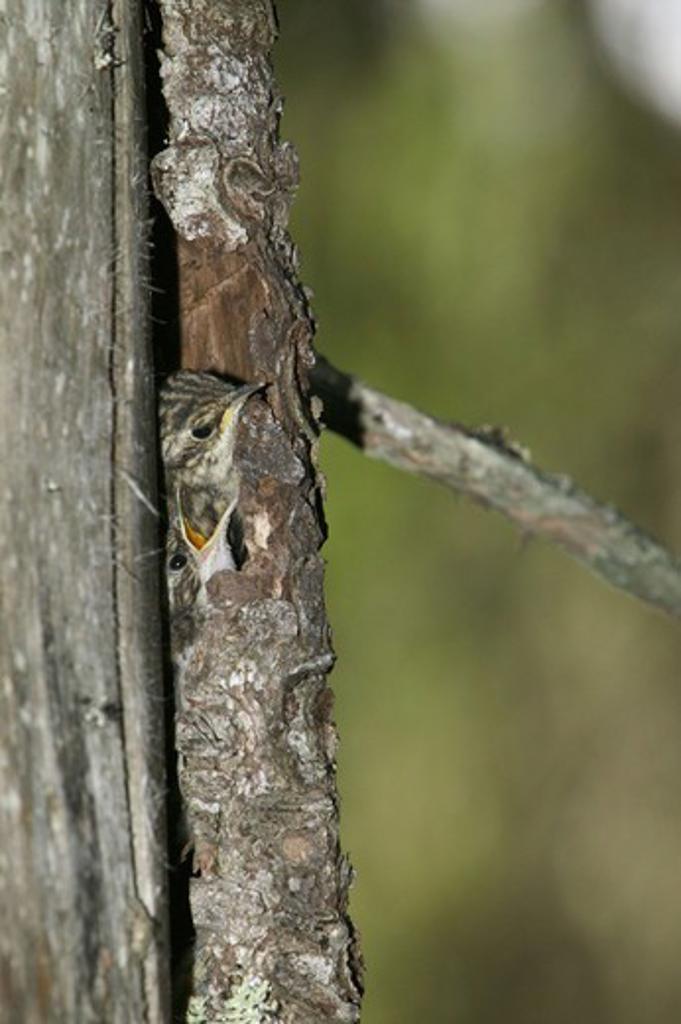 Stock Photo: 4401R-5325 Tree creeper, Sweden.
