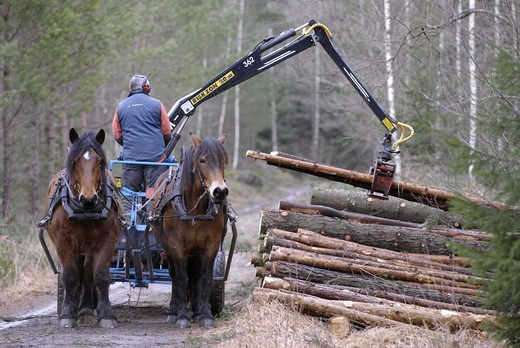 Stock Photo: 4401R-5396 A woodman and horses working in the forest, Sweden.