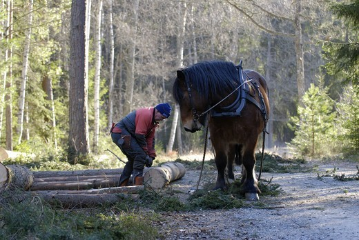 A woodman and horses working in the forest, Sweden. : Stock Photo