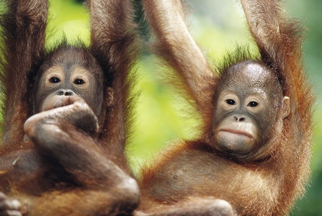 Stock Photo: 4401R-5547 Orangutan, Borneo, Malaysia.