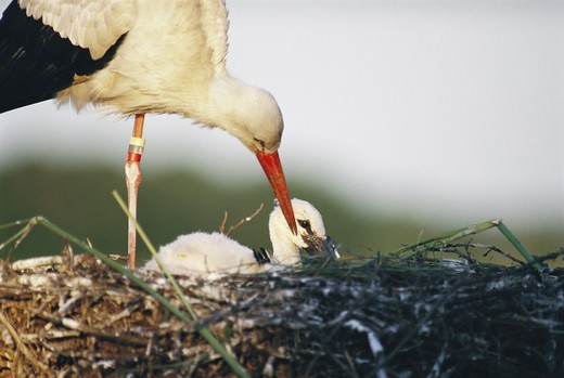Stock Photo: 4401R-6175 A stork with its young bird, Sweden.