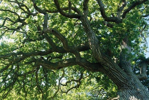 Stock Photo: 4401R-6216 Oak tree