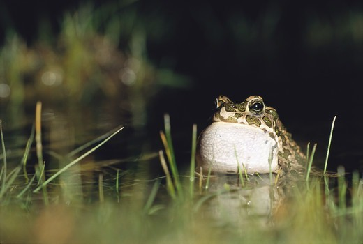 Stock Photo: 4401R-6251 A toad in the water, Sweden.