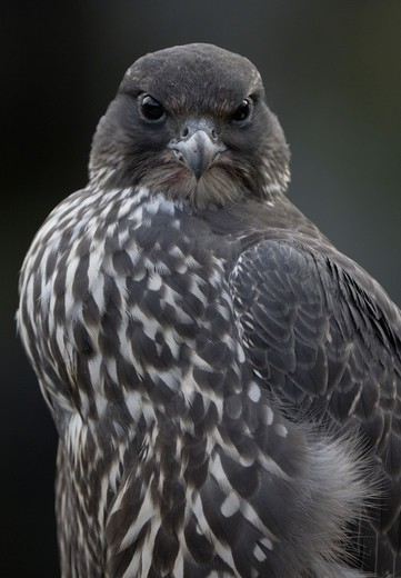 Stock Photo: 4401R-6337 Young Gyrfalcon chick, just fledged