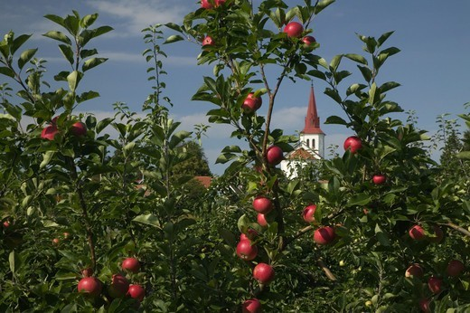 Stock Photo: 4401R-6679 Apple-trees with a church tower in the background, Sweden.