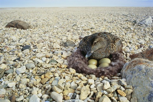 An eider duck brooding on eggs. : Stock Photo