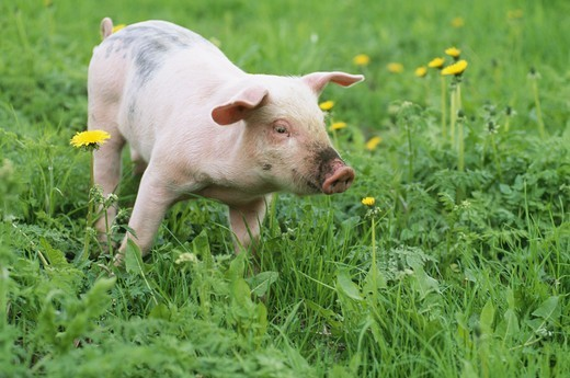 Stock Photo: 4401R-7213 Piglet on ecological farm, Sweden.