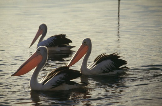 Three pelicans, Australia. : Stock Photo