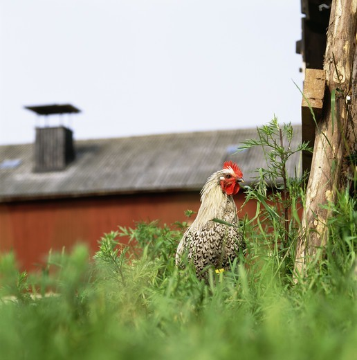 Stock Photo: 4401R-7261 A rooster in a farm, Sweden.