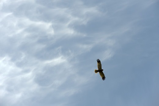 A hen harrier flying in the sky. : Stock Photo