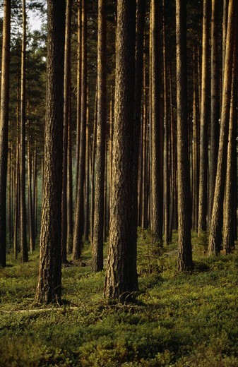 View of coniferous forest : Stock Photo