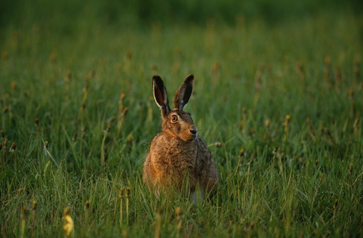 Brown hare in field : Stock Photo