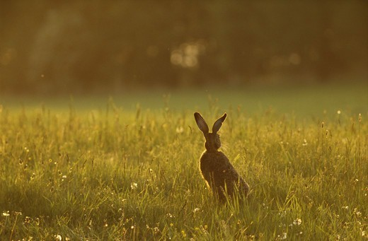 Stock Photo: 4401R-8094 Brown hare in field
