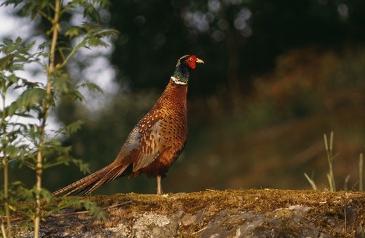 Stock Photo: 4401R-8192 Pheasant standing on mossy rock