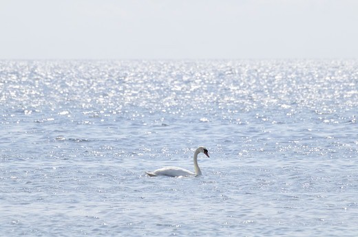 Stock Photo: 4401R-8359 Swan in the sea, Sweden.