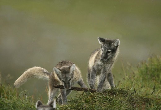 Stock Photo: 4401R-8719 Two arctic foxes, Jamtland, Sweden.