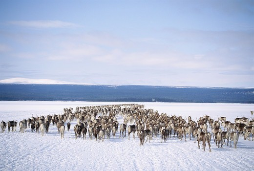 Stock Photo: 4401R-8769 Reindeers in the snow, Sweden.