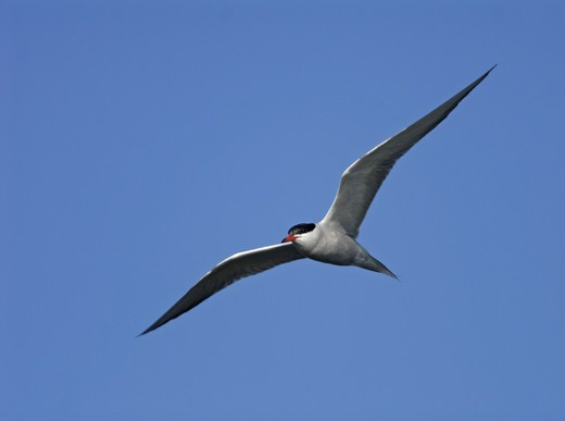 Stock Photo: 4401R-8811 A common tern against a blue sky, Sweden.