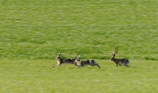 Hares running over a field, Sweden. : Stock Photo