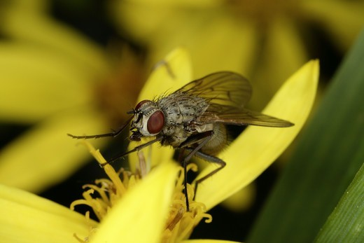Stock Photo: 4401R-8869 A fly, close-up.