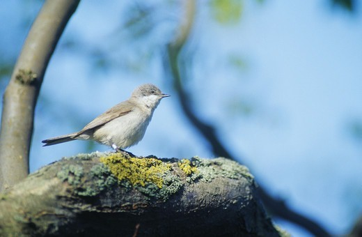 Stock Photo: 4401R-8905 Lesser whitethroat on a branch, Sweden.