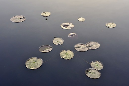 Stock Photo: 4401R-9255 Water lily leaves in a forest lake, Sweden.