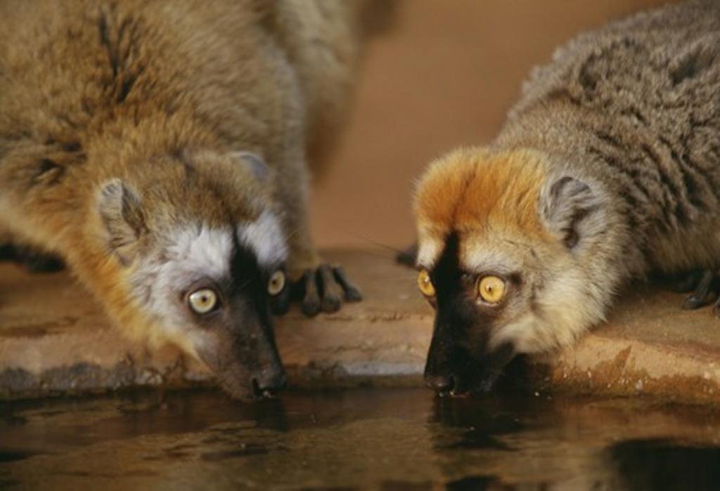 Two lemurs drinking water, Madagascar. : Stock Photo