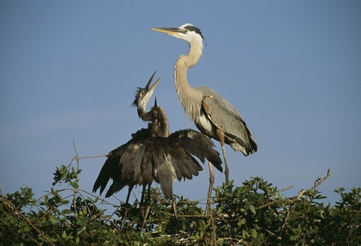 Stock Photo: 4401R-9723 Two heron birds on tree