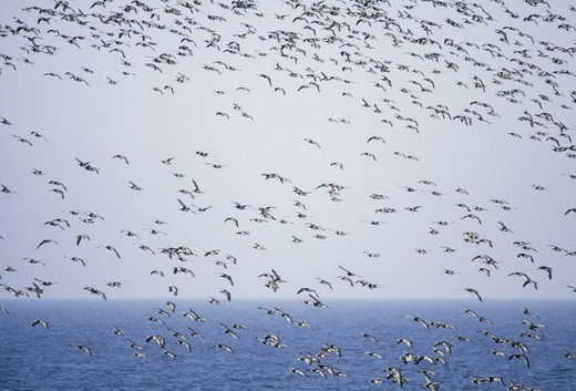 Stock Photo: 4401R-9751 Flock of goose flying