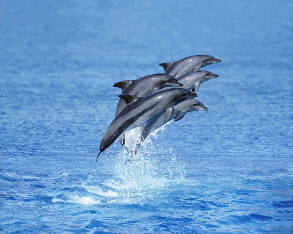 Bottlenose dolphins, South Africa : Stock Photo