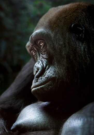 Female western lowland gorilla (Captive) : Stock Photo
