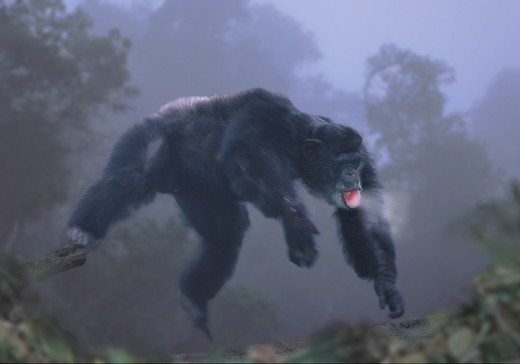 Chimpanzee leaping in the early morning mist. (captive) : Stock Photo
