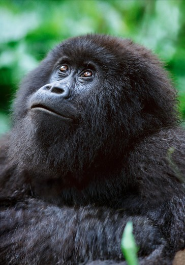 Female mountain gorilla, Parc des Virungas, Democratic Republic of Congo : Stock Photo