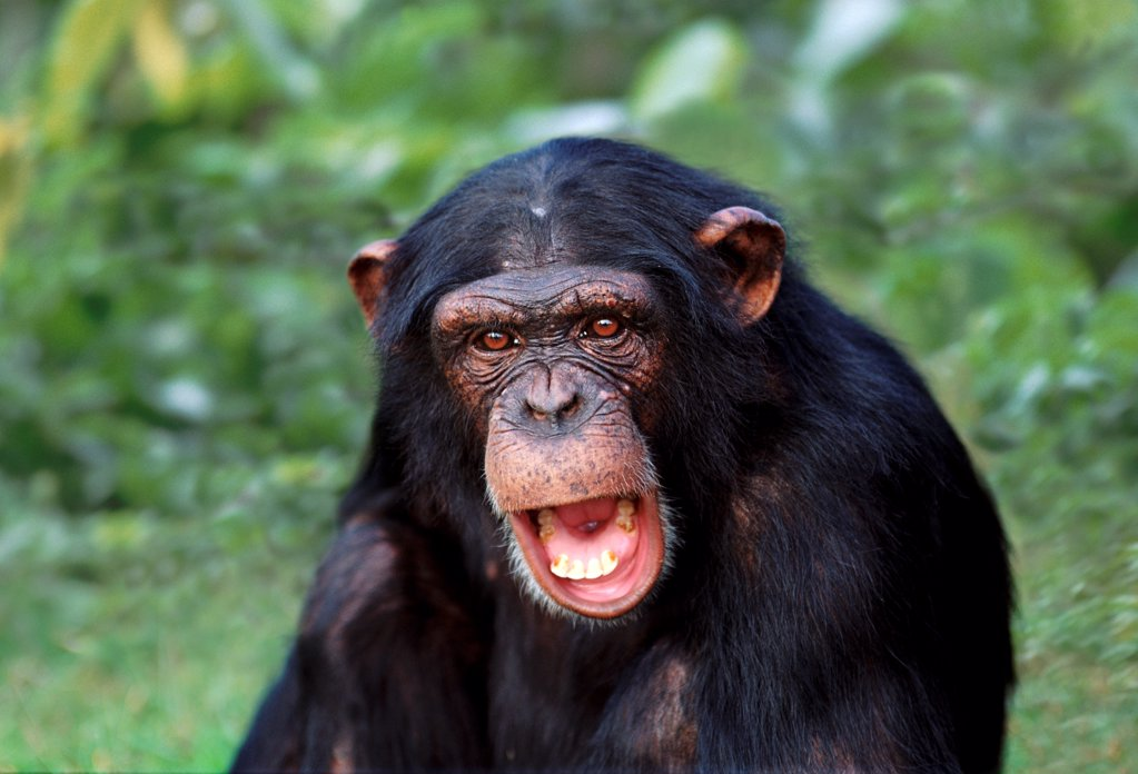 Stock Photo: 4402-1291 Chimpanzee (captive)