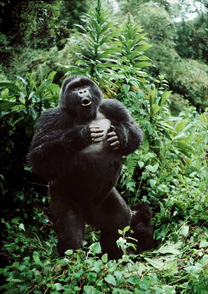 Stock Photo: 4402-1337 Silverback mountain gorilla beating his chest Rwanda.
