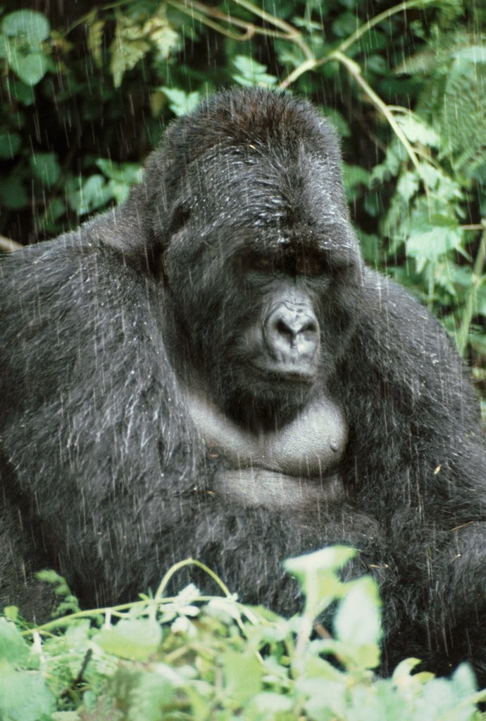 Stock Photo: 4402-1338 Silverback mountain gorilla, Rwanda.