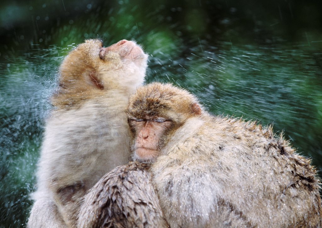 Barbary apes (rhesus macaques) shaking water from themselves (captive) : Stock Photo