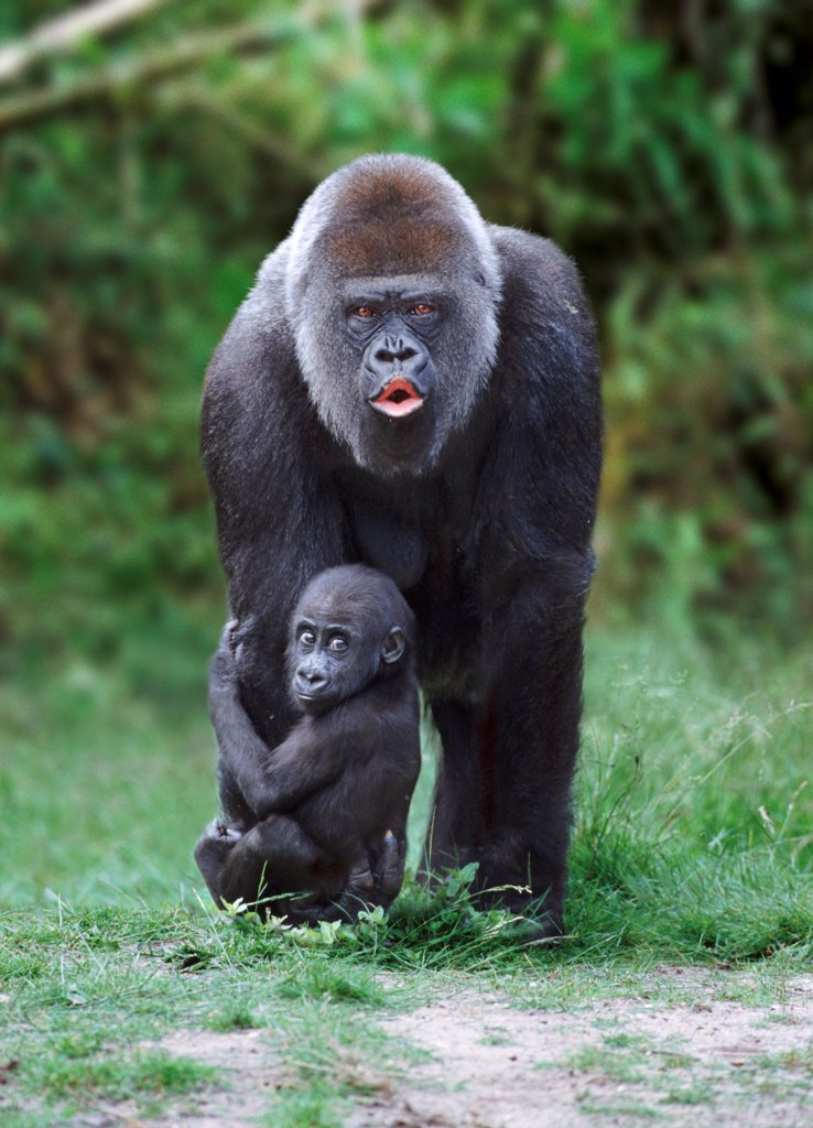 Stock Photo: 4402-1367 Western lowland gorilla mother and baby (captive)
